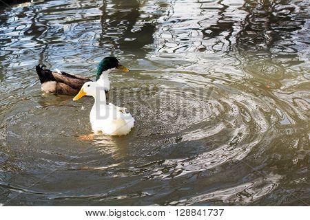 Ducks Swim In Pond