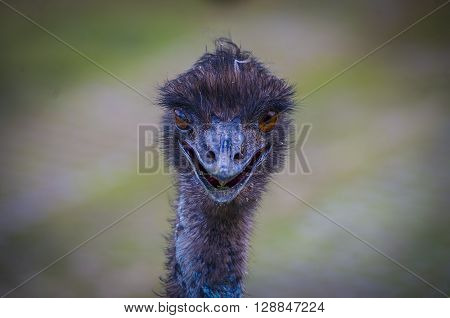 A shaggy and darkle feathering Emu portrait.