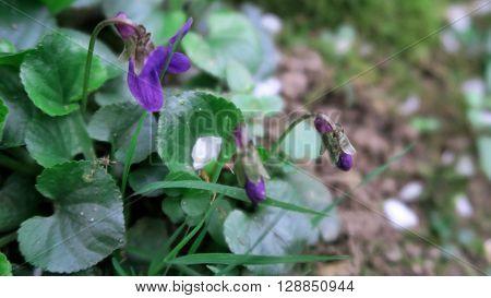 Lila bzw violette Blumen auf grünem, bewachsenem Waldboden