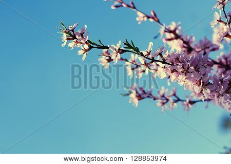 Spring Cherry Tree Flowers Blossoming