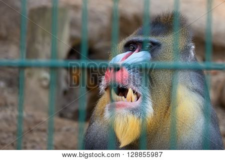 Portrait of a mandrill monkey in captivity