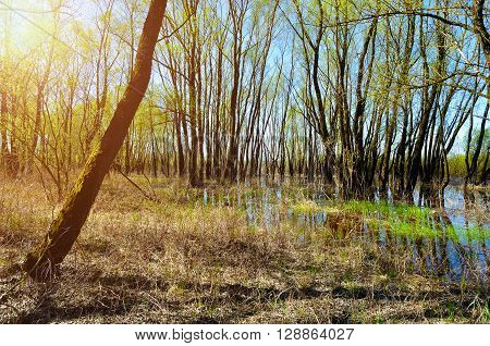 Forest spring landscape - little forest flooded with overflowing spring water in sunny spring weather. Spring colored landscape.