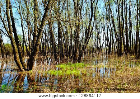 Forest spring landscape - riparian trees flooded with overflowing river water in nice spring weather. Spring colorful forest landscape.