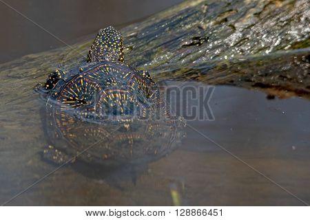 European pond turtle (Emys orbicularis) on a log in pond
