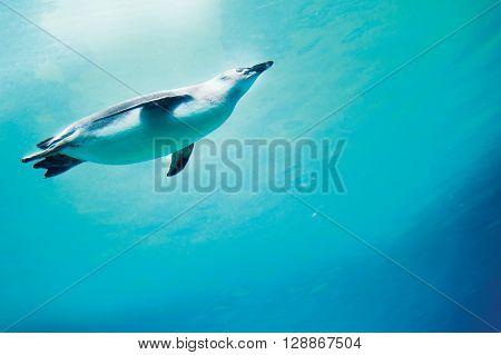 Conception of diving penguin plunged in blue water
