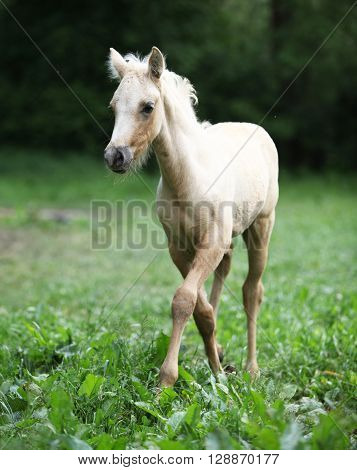 Amazing Foal Moving Alone On Pasturage