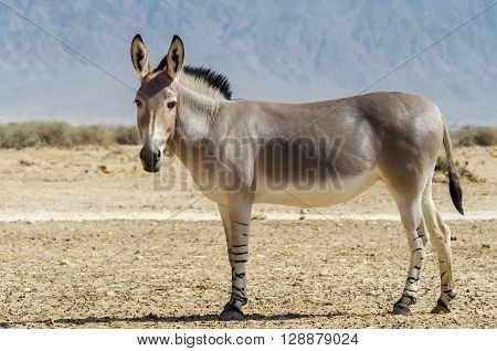 Somali wild donkey (Equus africanus) is the forefather of all domestic asses. This species is extremely rare both in nature and in captivity poster