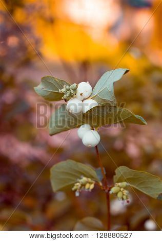 Sprig snowberry with fruits in the light of sunset.