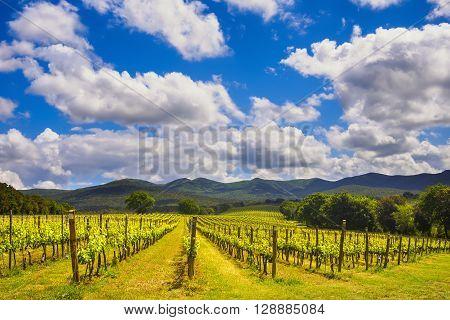 Bolgheri vineyard and hills on background. Maremma Tuscany Italy Europe.