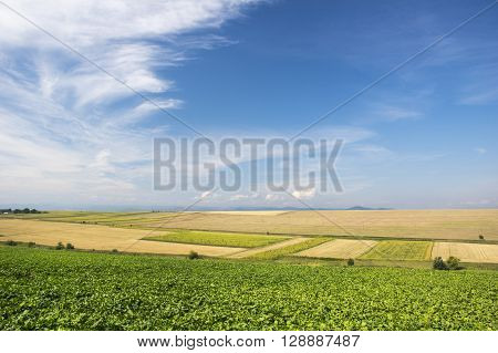 Sugar beet and cereals field in the summer