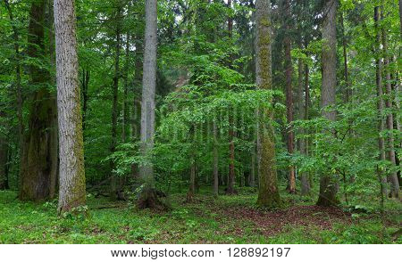 Old hornbeam and oak trees moss wrapped and old natural deciduous stand of Bialowieza Forest in background, Bialowieza Forest, Poland, Europe