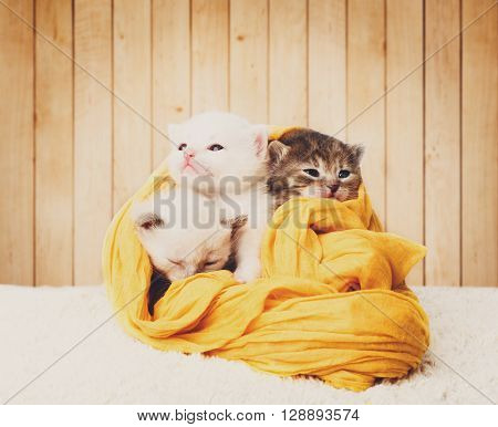 White and grey kittens. Cute kittens in a yellow cotton textile isolated at wooden background. Adorable pets. Small heartwarming kittens. Little cats. Animals isolated. High key, soft tone