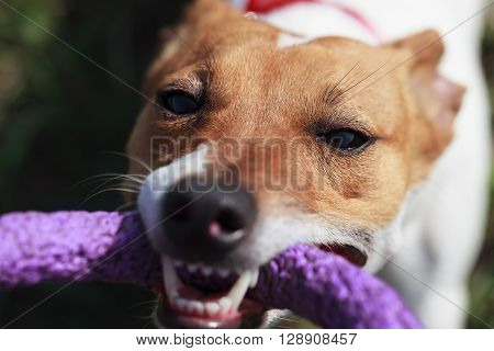 Little Jack Russell Terrier Puppy Playing With Puller Toy