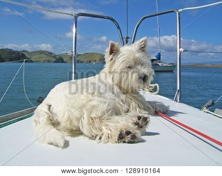 West highland white terrier westie dog relaxing on the bow of a sailboat