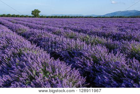 Harvesting resh lavender flowers for perfumery industry