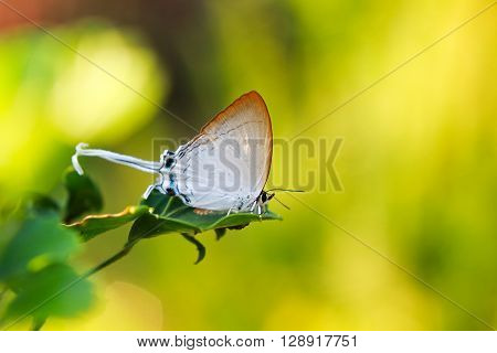 A Lovely Butterfly (Fluffy Tit), Cheritra freja (Fabricius)