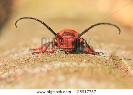 The Capricorn beetle on bark tree in nature