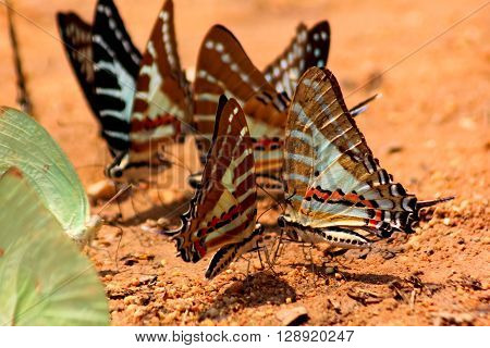 Group of Fivebar Swordtail Butterfly on snad