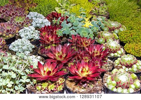 Close Up Of Differnt Succulents .