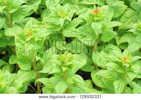 Close Up Of Celosia Cristata Or Cockscomb Plant