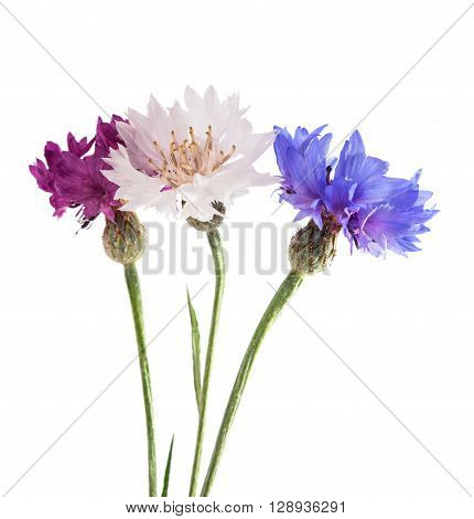 Flowers cornflowers on a white background, two, objects, florescence