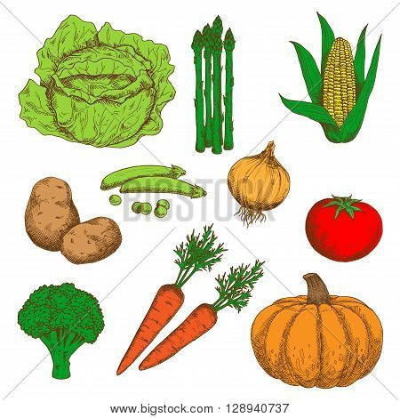 Autumn harvest of orange pumpkin and carrots, juicy red tomato, sweet corn and green peas, healthful onion and broccoli, ripe potatoes, cabbage and asparagus vegetables retro sketch icons. May be use as old fashioned menu or recipe book design