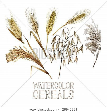 Collection of watercolor cereals. Wheat, millet, barley, rye, oats and rice isolated on white background