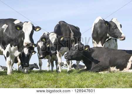 black and white cows in green grassy dutch spring meadow under blue sky in holland with other cows in the background