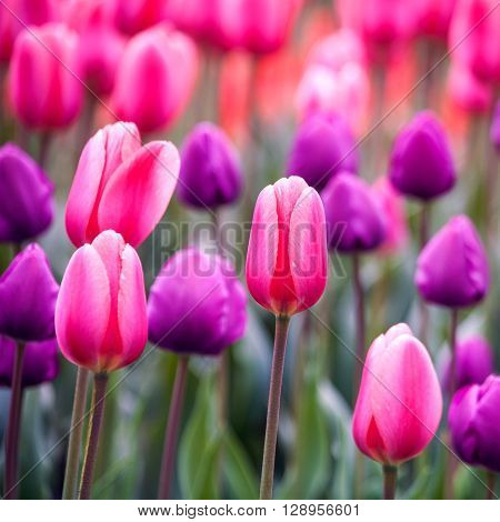 Tulip flowers. Abstract seasonal floral backgrounds for your design