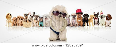 cute white bichon wearing clothes and sunglasses , sitting in front of a large group of dogs of different breeds on white backogrund