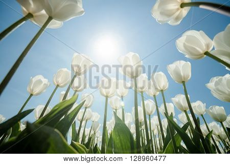 White tulips flowers growing over blue sky background. Wide angle view with sunny flair