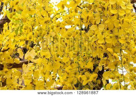 Ratchaphruek Thailand national flower is the blossom.
