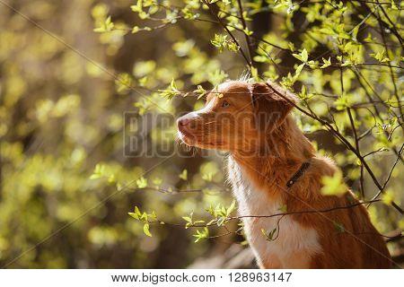 Dog Nova Scotia Duck Tolling Retriever In Summer