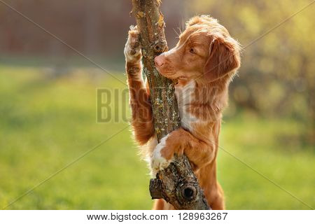 Dog Nova Scotia Duck Tolling Retriever paws hugging tree