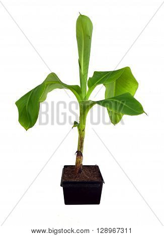 Small banana tree in pot isolated on white background