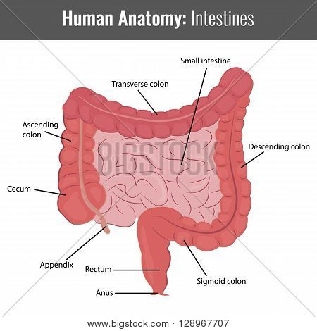 Human Intestines detailed anatomy. Vector Medical illustration.