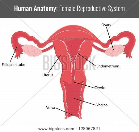 Female reproductive system detailed anatomy. Vector Medical illustration. poster