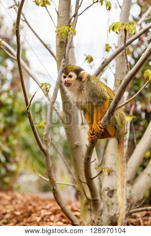 Close-up portrait of Common Squirrel Monkey sitting on the tree
