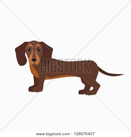 Flat dachshund pet illustration. Standing cute dachshund vector. Flat dog animal pet vector icon. Home cartoon standing dachshund in flat style. Dog colorful silhouette isolated on white background