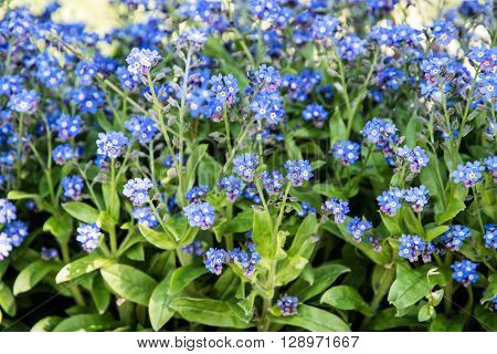 Forget-me-not flowers - Myosotis sylvatica - in the park. Beauty in nature. Blue flowers. Beauty in nature. Close up natural scene.