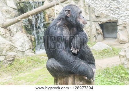 Chimpanzee Pan troglodytes Pan paniscus, resting relaxed