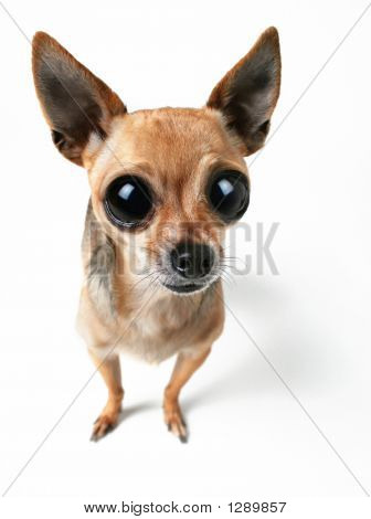 a tiny chihuahua with very large eyes poster