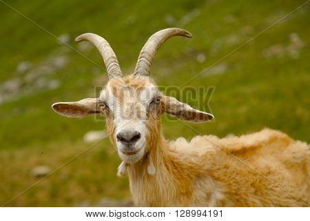 Goat on a mountain field