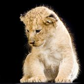 lion cub (3 weeks) sitting in front of a balck background. all my pictures are taken in a photo studio. poster