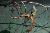 Giant prickly stick insect (Extatosoma tiaratum), also known as the Australian walking stick. Wild life animal.  poster