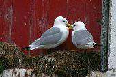 Romantic gull couple sitting on their nest poster