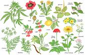 Set of vector medicinal herbs, flowers, plants, spices, fruits. Color illustration Cannabis, Poppy, dandelion, plantain, cumin, barberry, rosemary, vanilla, coffee, ginseng, chamomile, lemon, milfoil. poster