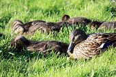 Little ducklings in the grass poster