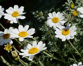 Marguerites large white daisies-like blooms, in a cluster