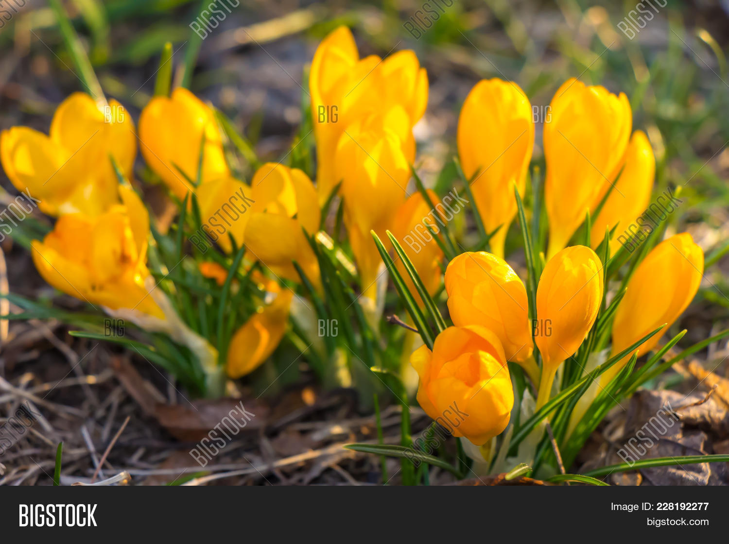 Crocus Plural Image Photo Free Trial Bigstock